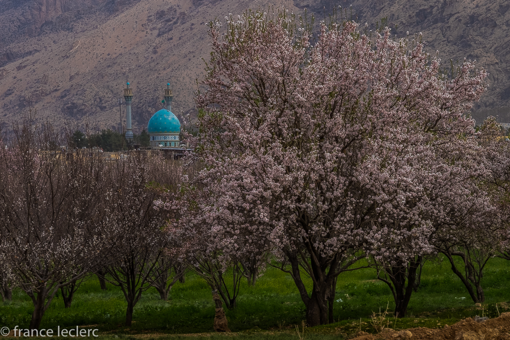 Blue mosque behind some almond trees in bloom.